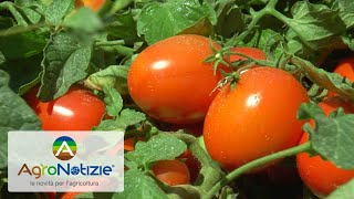 Pomodoro da industria: come ottenere qualità e quantità