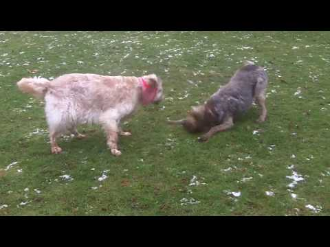 English Setter Otis & German Wirehaired Pointer Suggs getting rough.