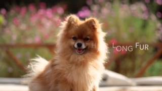 Fun Facts About Pomeranians Episode 15