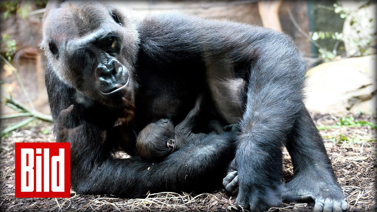 gorilla frankfurt