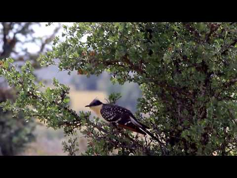 Great Spotted Cuckoo (Clamator glandarius) Κισσόκουκος,- Καλοχρονιά - Cyprus