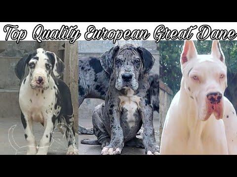 Top Quality European Great Dane Puppies For Sale    Jsk Pets   
