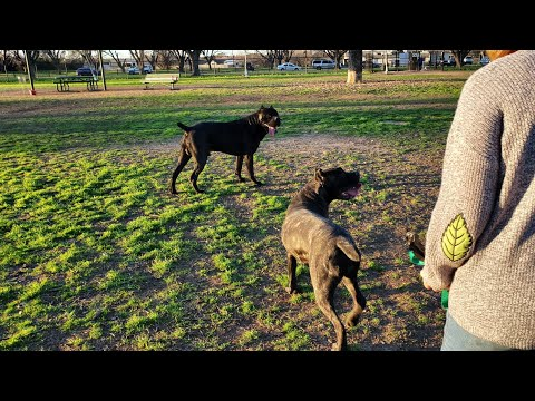 Preacher gets attacked by a Shepherd mix at the dog park