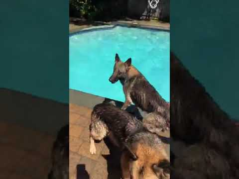 Swimming 3 dogs with Angelo   Kids and Swimming Dogs