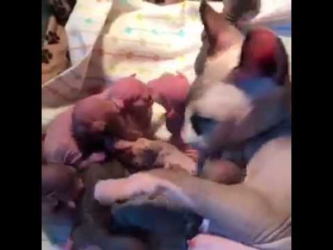 Sphynx Momma and Sphynx & Bambino Kittens