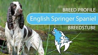 English Springer Spaniel Breed, Temperament & Training