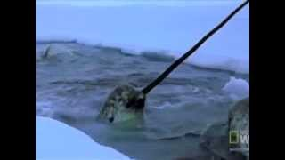 Repeat youtube video Narwhals: The Journey of an Arctic Whale