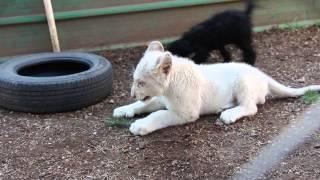 თეთრი ლომის ბოკვერი შუმბა შავ პუდელს ეთამაშება/White lion cub Shumba playing with a black poodle