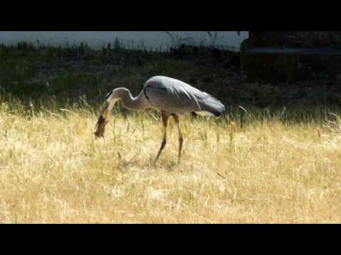 Blue Heron catches and eats Gopher