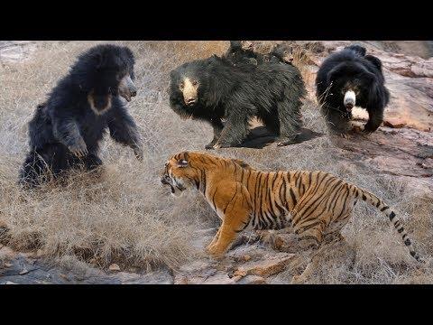Wild Animals Fights