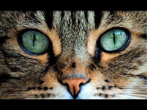 Как ухаживать за глазами кота?   Что делать если кот чешет глаза