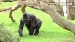 60 летие гориллы Фату