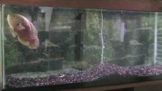 WARNING!! TIGER OSCAR INSANE!!! FEEDING! - 55 gallon aquarium