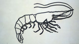 How to Draw a Shrimp (Cara Menggambar Udang)