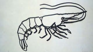 Drawing a Shrimp (Menggambar Udang)