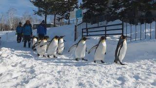 北海道旭川市の旭山動物園で、ペンギンの群れが雪に覆われた園内を散歩...
