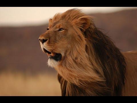 Царь зверей. Могучий и беспощадный. Лев - воплощение силы и величия!