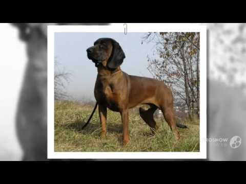 Ганноверская гончая порода собак