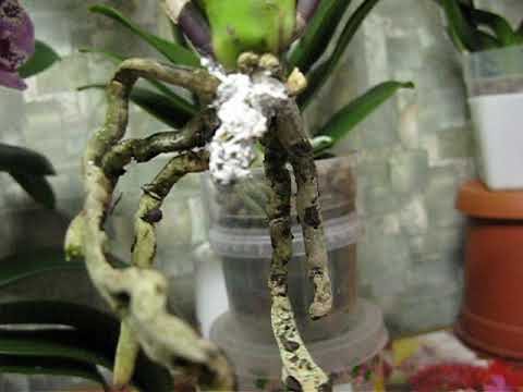 видео: Новая орхидея и немного о реанимации.