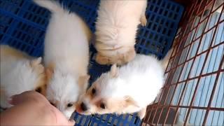 Pomeranian Spitz Pups For Sale!!!