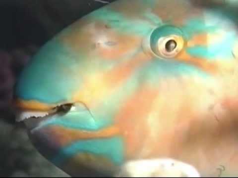 Sleeping Parrot Fish