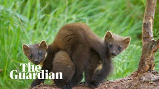 Pine martens: rare footage shows reintroduced animals have bred