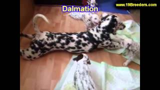 Dalmation, Puppies, For, Sale, In, Cincinnati, Ohio, Oh, Westerville, Huber Heights, Lima, Lancaster
