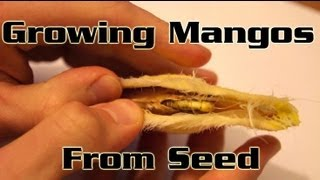 Growing Mangos From Seed - How to plant a mango seed and grow a mango tree