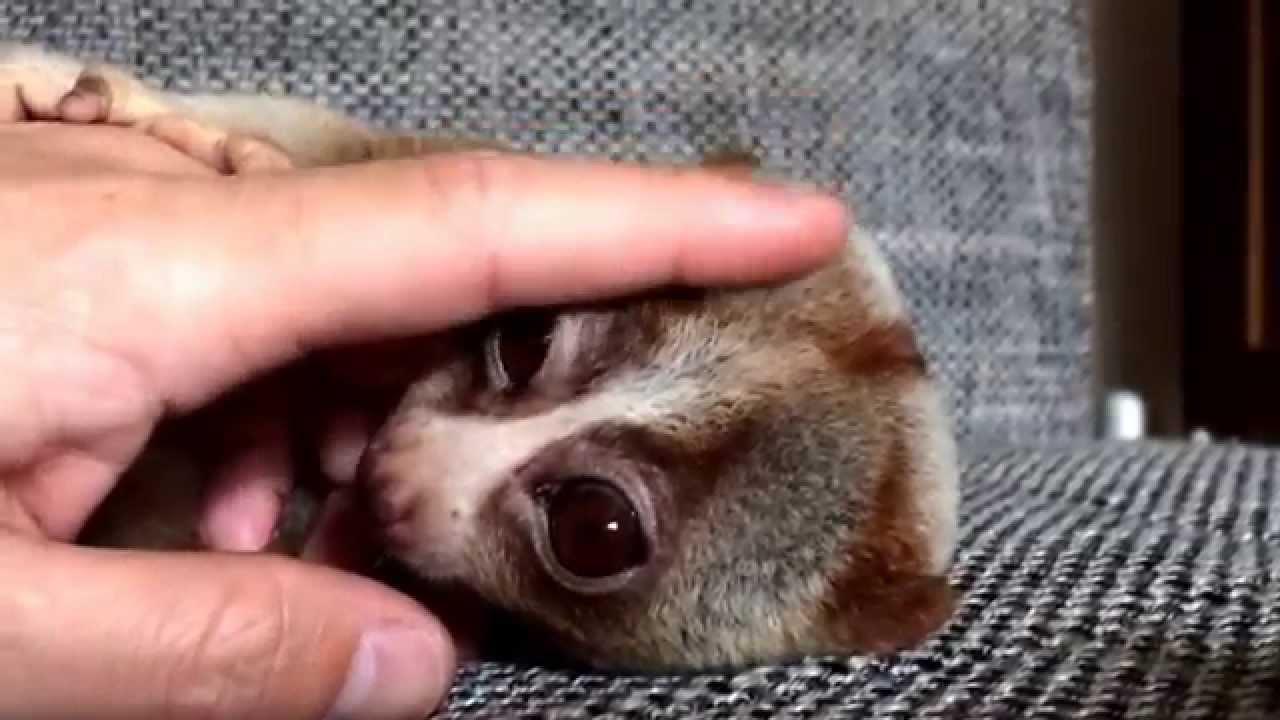 ペット サル サル