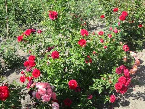 Цветы. Розы. Шекспир.