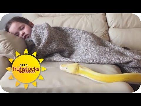 Eine Python als Kuscheltier! Harmlos oder Verantwortungslos? | SAT.1 Frühstücksfernsehen