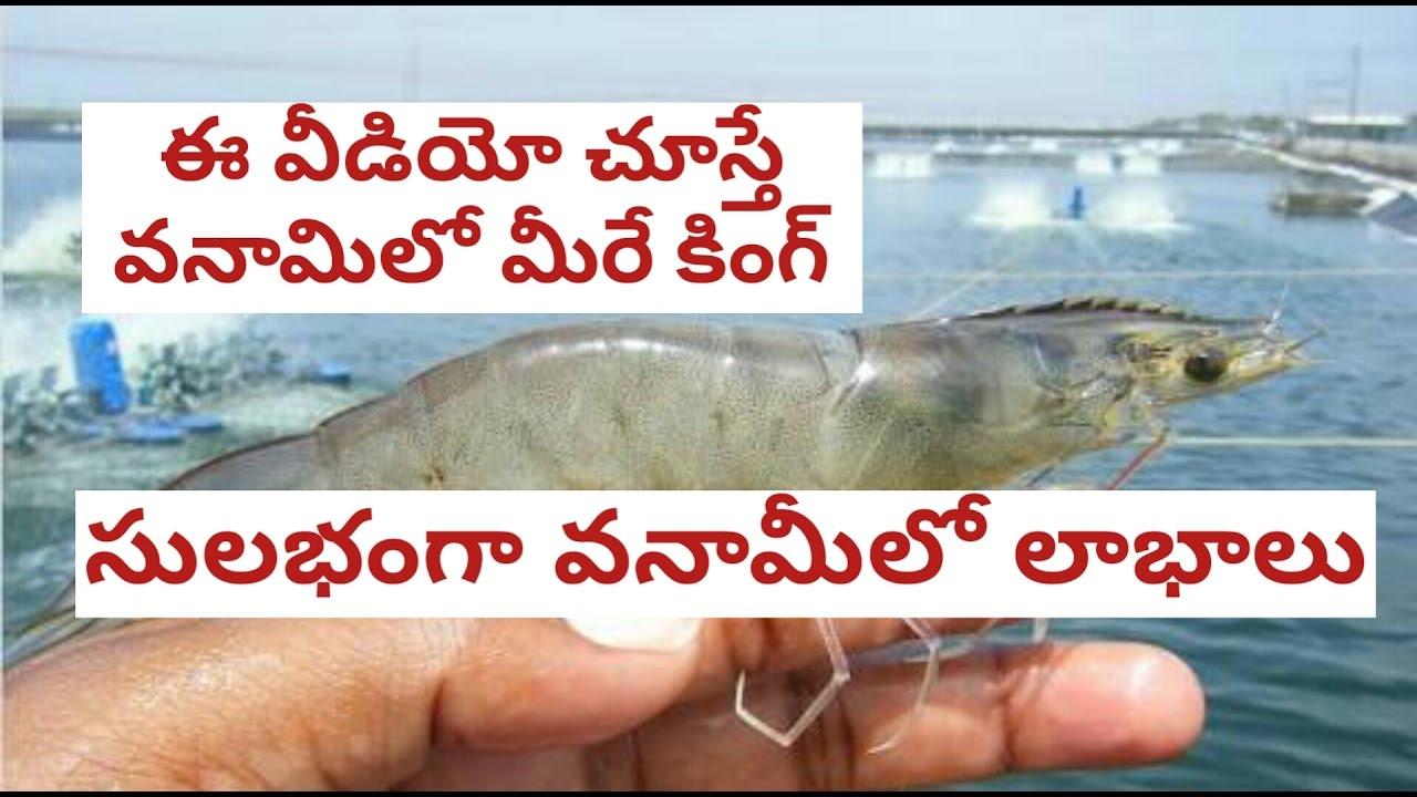 how to do vannamei prawn culture in telugu