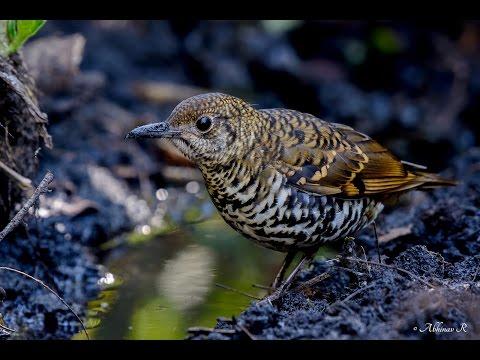 Nilgiri Thrush - Endemic bird of the Western Ghats - southern India