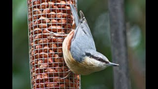 Nuthatch taking food to chicks in the nest