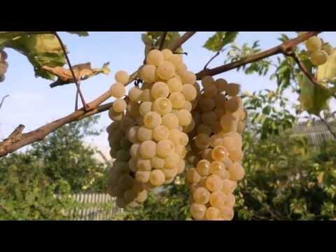 Виноград устойчивый не укрывной