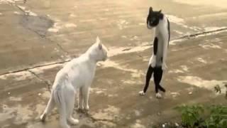 Gato brigando em pé