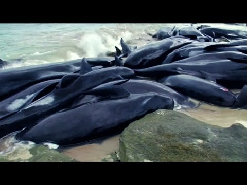 150 whales stranded in Western Australia