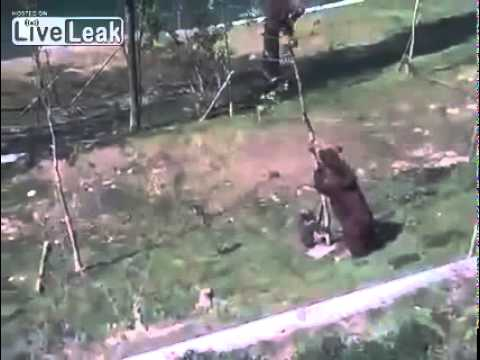 mother-bear-is-saving-her-baby