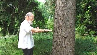 Мистика биолокации деревьев.  Видеоурок N 1.