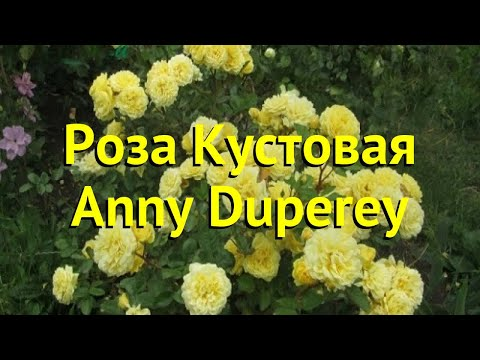 Роза кустовая анни дюперей. Краткий обзор, описание характеристик, где купить саженцы Anny Duperey