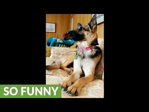 German Shepherd sings along with perfect pitch