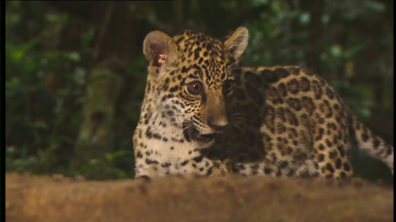 Download Conflicts of Nature : Conflicts in the Jungle (Wildlife Documentary)