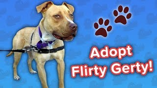 Adopt Flirty Gerty! // Pit Bull Mix // Adoptable Featurette