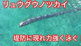 鳥取夏泊漁港浅瀬に「リュウグウノツカイ」現る!