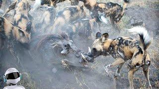 Дикие Собаки в Деле / Дикие Собаки против Буйволов, Леопарда, Льва