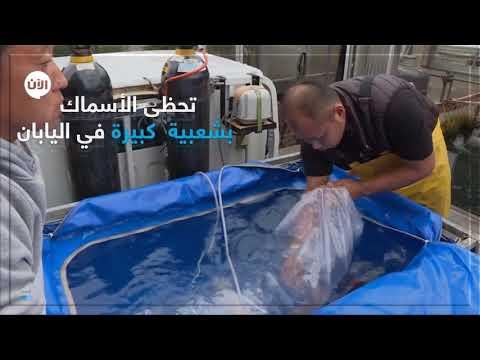 أسماك يابانية ملونة باهظة الثمن تشارك في مسابقات جمال