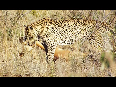 Extremely Quick Leopard Kill