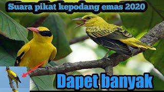 Download Mp3 Suara Pikat Burung Kepodang 2020 Ampuh!
