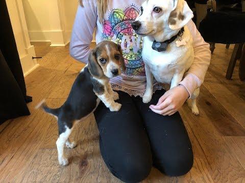 Meet Rosie, the pocket beagle
