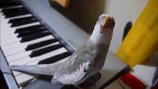 Попугай свистит под музыку.